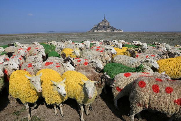 Source: http://www.lonelyplanet.com/news/2016/06/20/normandy-sheep-wear-tour-de-france-colours/